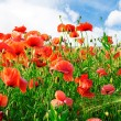 Poppies - Foto de Stock  