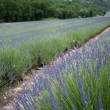 Lavender fields senanque abbey provence — Stockfoto