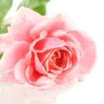 Pink Rose — Stock Photo #4161048