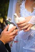 Pair of wedding pigeons in hands — Stock Photo