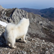 Samoyed dog in mountains. — Stock Photo