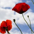 Red poppy. - Stock Photo