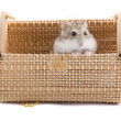 Small hamster in present package. — Stock Photo