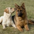 Moscow sheepdog and Labrador retriever. - Stock Photo