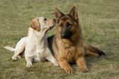 Moscow sheepdog and Labrador retriever. — Stock Photo