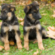 Stock Photo: Two sheepdog puppys.