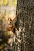 Wild squirrel. — Stock Photo
