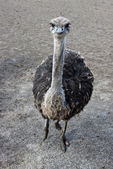 Funny ostrich. — Stock Photo