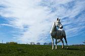 White horse. — Стоковое фото