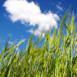 Stock Photo: Green wheat
