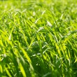 Green grass — Stock Photo #5172990