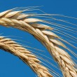 Stock Photo: Golden wheat