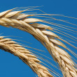 Royalty-Free Stock Photo: Golden wheat