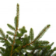 Fir Branches Isolated — Stock Photo