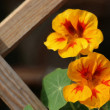 Paint With Nasturtium Flowers - Stock Photo