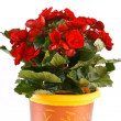 Begonia — Stock Photo #4011771
