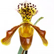 Paphiopedilum — Stock Photo