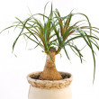 Stock Photo: Beaucarnea