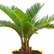 Stockfoto: Sago palm
