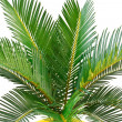 Sago palm — Stock Photo #4021315