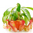 Stock Photo: Nepenthes coccinea