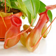 Nepenthes coccinea - Stock Photo
