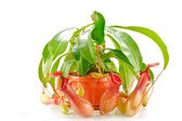Nepenthes coccinea — Stock Photo