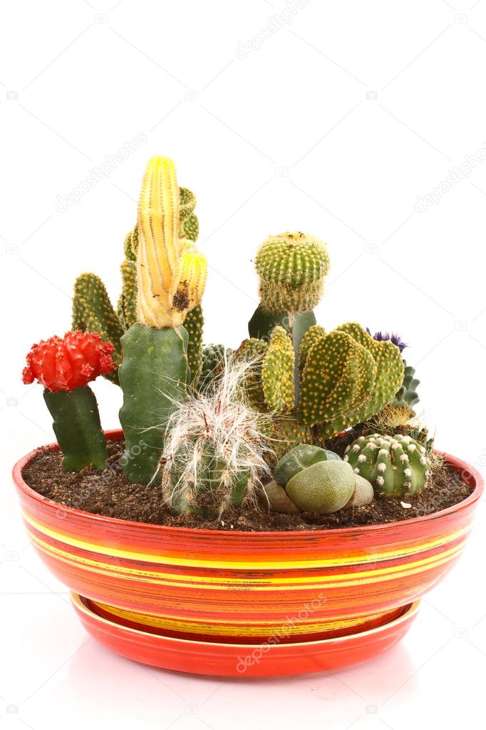 Collection of cactus in a pot — Stock Photo #4491660