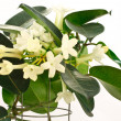 Stephanotis — Stock Photo #4618945
