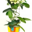Stephanotis — Stock Photo #4619168