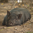 Lazy pig — Stock Photo
