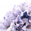 Hyacinth — Stock Photo #4727502