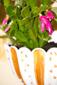 Zygocactus truncatus — Stock Photo