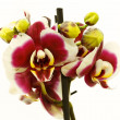 Phalaenopsis — Stock Photo #4873613