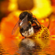 Stock Photo: Bee gathers honey