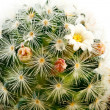 Cactus — Stock Photo #4939355