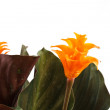 Calathea — Stock Photo #4939501