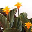 Calathea — Stock Photo #4939615