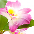 Dendrobium orchid — Stock Photo #4939648