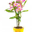 Dendrobium orchid — Stock Photo #4939678