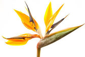 Strelitzia — Stock Photo