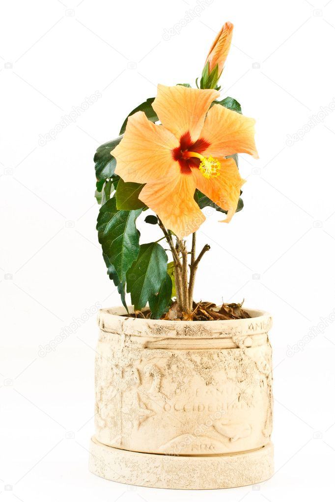 Yellow hibiscus flower isolated on white background  Stock Photo #5083174