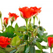 Shrub roses — Stock Photo