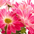 Chrysanthemums — Stock Photo #5185609
