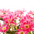 Chrysanthemums — Stock Photo #5185632