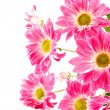 Chrysanthemums — Stock Photo #5185641