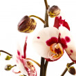 Stock Photo: Phalaenopsis flower