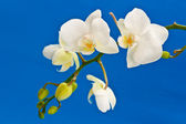 White phalaenopsis flowers — Stock Photo