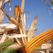 Corn at field — Stock Photo