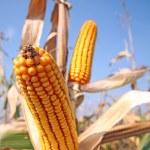 Corn at field — Stock Photo